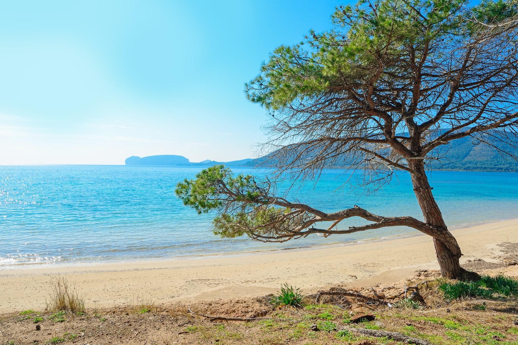 pine tree by the sea in Mugoni beach, Sardinia