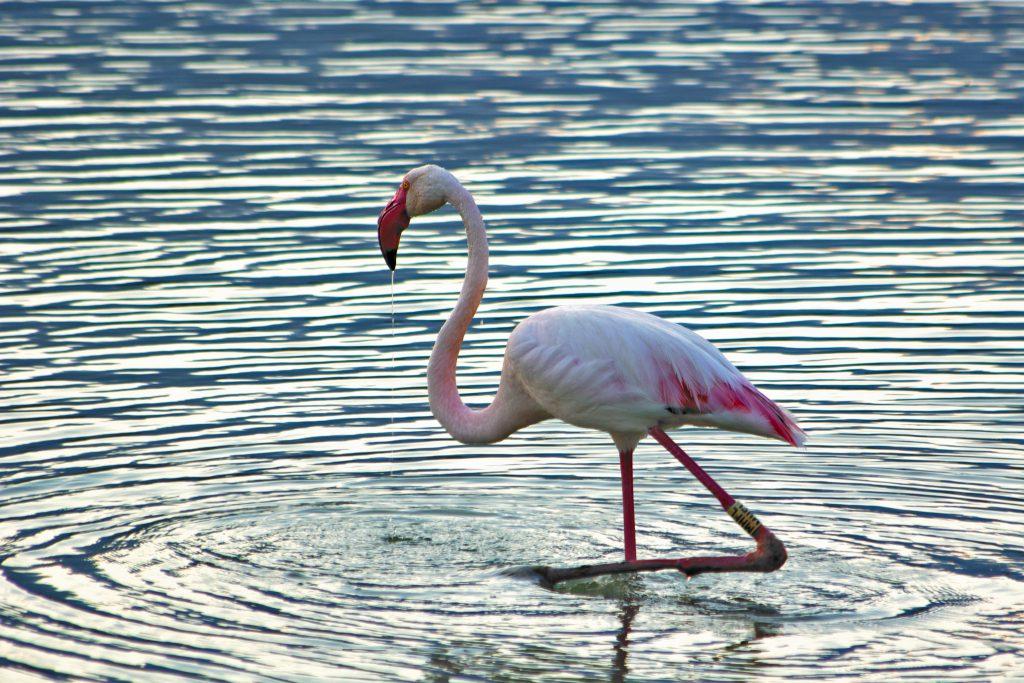 Flamingo in Sardinia Cagliari at the Molentargius Park
