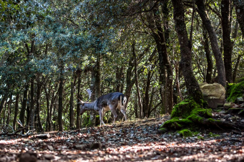 A deer in the donnortei park, fonni, sardinia, italy